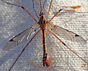 Large crane fly - Tipula - male
