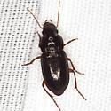Beetle - Selenophorus opalinus