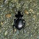 Black Beetle - Sphaeroderus stenostomus
