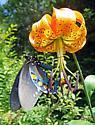 Pipevine Swallowtail Butterfly - Battus philenor - male