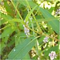 Brunners Mantis - Brunneria borealis - female