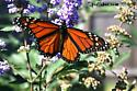 Wild Open-Winged October TX Monarch - Danaus plexippus