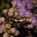 Grape Leaffolder Moth For Illinois In September - Desmia