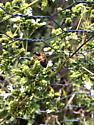 Black wasp with orange bands - Apis mellifera