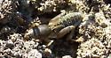 Help with underground grasshopper type thing. - Neoscapteriscus borellii