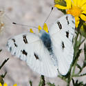 White Butterfly on Yellow Flowers - Pontia protodice - male