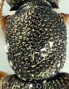 Monotomidae  - Monotoma longicollis