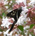 Longtail Skipper - Chioides albofasciatus