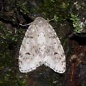 Interesting moth resting on tree trunk - Clemensia albata