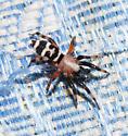 spider - Sergiolus capulatus - male