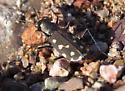 Cicindelidia sedecimpunctata