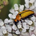 Blister Beetle  - Nemognatha scutellaris
