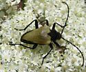 Tan long-horned beetle - Pachyta armata