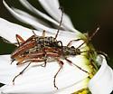 flower longhorn - Stenocorus vestitus - male - female