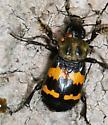 Sexton beetle - Nicrophorus tomentosus