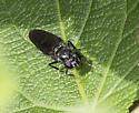 black insect - Hermetia illucens