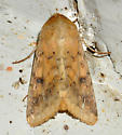Unknown moth - Helicoverpa zea