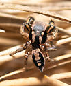 Habronattus pyrrthrix - Habronattus pyrrithrix - male