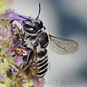 Bee - Megachile - female