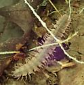 flat-backed millipede - Pseudopolydesmus