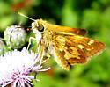 Orange Moth - Polites peckius
