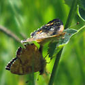 Crescent - Phyciodes pulchella - male - female