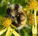 tiny bumble bee - Last Chance - Bombus