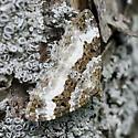 White-banded Toothed Carpet - Hodges#7394 - Epirrhoe alternata