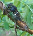 Swamp Cicada - Tibicen tibicen - female