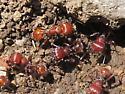 Pogonomyrmex - Pogonomyrmex barbatus - female