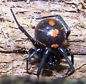 Latrodectus variolus - female