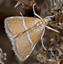 Unknown Moth 4203 - Abegesta