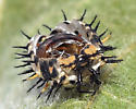 Ladybird from larva to adult - Axion plagiatum