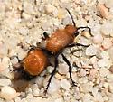 Dasymutilla bioculata? - female