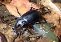 Beetle - Callisthenes