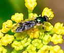 Sargus? soldier fly - Actina viridis