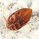 Plate-thigh Beetle - Nycteus oviformis