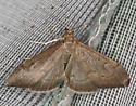 pyralid moth - Anania mysippusalis