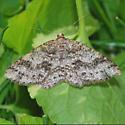 Western carpet - Melanolophia imitata - female