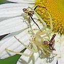 spiders0640 - Misumena vatia