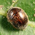 Little round beetle - Amphicrossus ciliatus