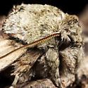 Twig Moth - Oligocentria semirufescens