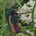 Green Fig Beetle - Cotinis mutabilis