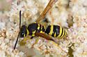 Ancistrocerus cf. spilopterus ? - Ancistrocerus catskill