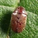 Anobiid - Tricorynus similis