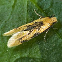 Yellow Wave Moth - Hybroma servulella