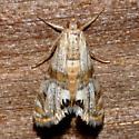 Two-banded Petrophila - Petrophila bifascialis