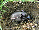 Carabus nemoralis - male - female