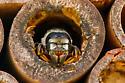 Megachile sp. - Megachile pugnata