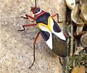 Pale Red Bug? - Dysdercus concinnus